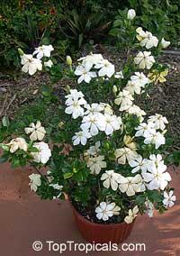 Gardenia X Duruma White Gem Buttons Gardenia Spring Garden