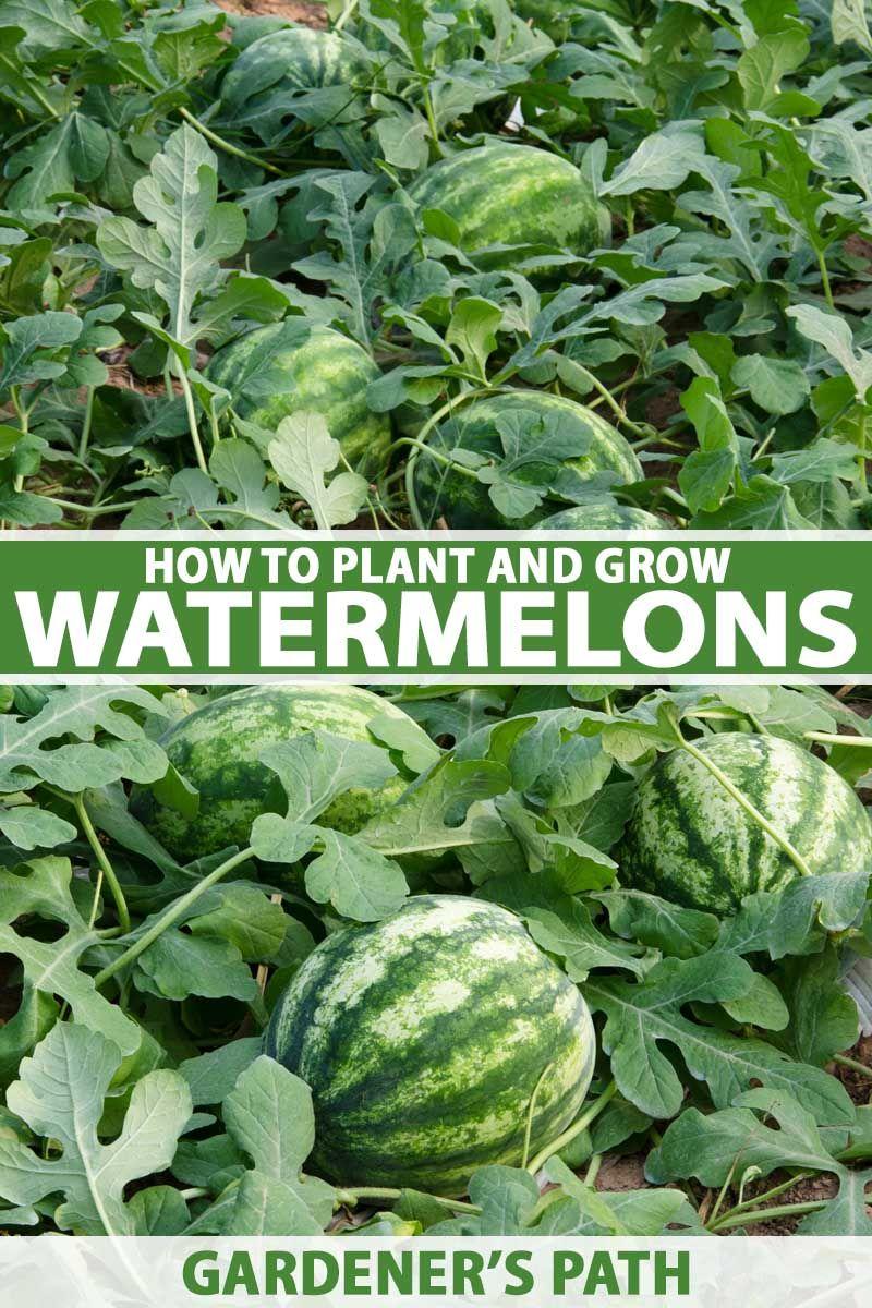 Pin By Jen On Gardening Sugar Baby Watermelon Pot Trellis How To Grow Watermelon