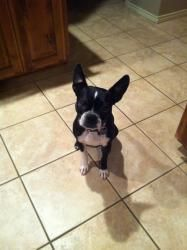 Adopt Tegan On Boston Terrier Love Boston Terrier Dog