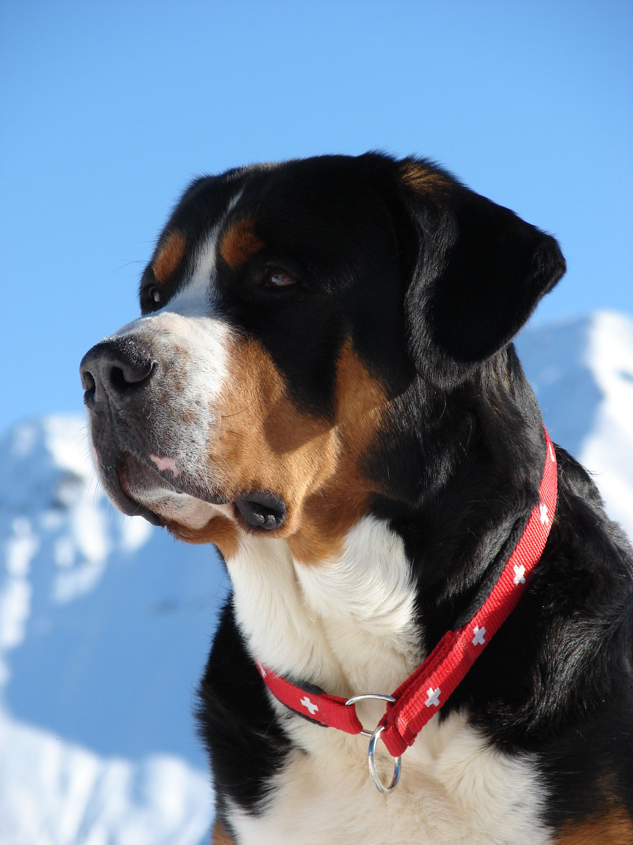 Greater Swiss Mountain Dog Grosser Schweizer Sennenhund Grand Bouvier Suisse Appenzeller Sennenhund Entlebuc Dog Breeds Greater Swiss Mountain Dog Dogs