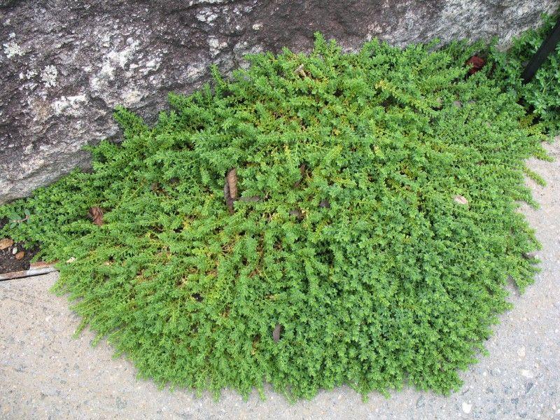 plante verte couvre sol