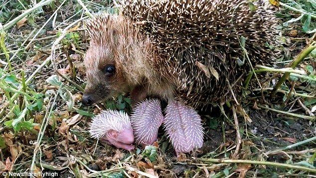 Heartwarming Video Shows Baby Hedgehogs Nursing In Broad Daylight