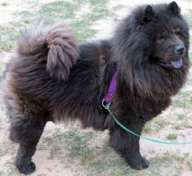 Daphne Has A Video Is An Adoptable Chow Chow Dog In Conyers Ga