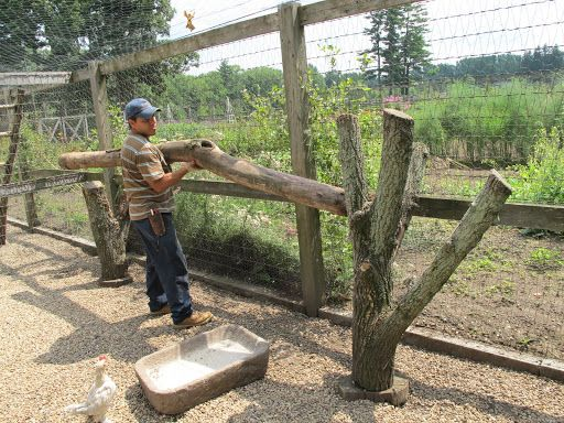 Down at the chicken coops, Alfredo removes the old roosts that he made a year ago.  Notice how the bark has worn away?