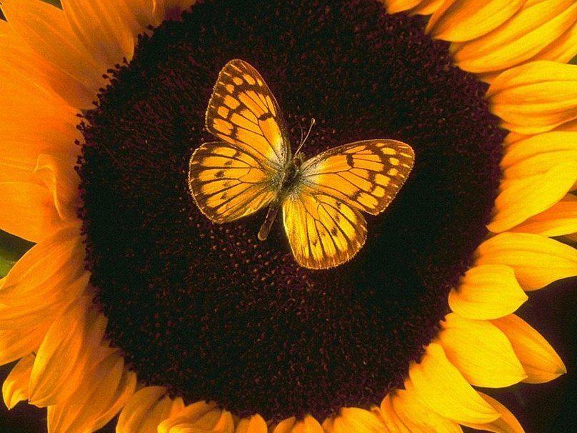 mariposa amarilla sobre una flor amarilla wallpaper