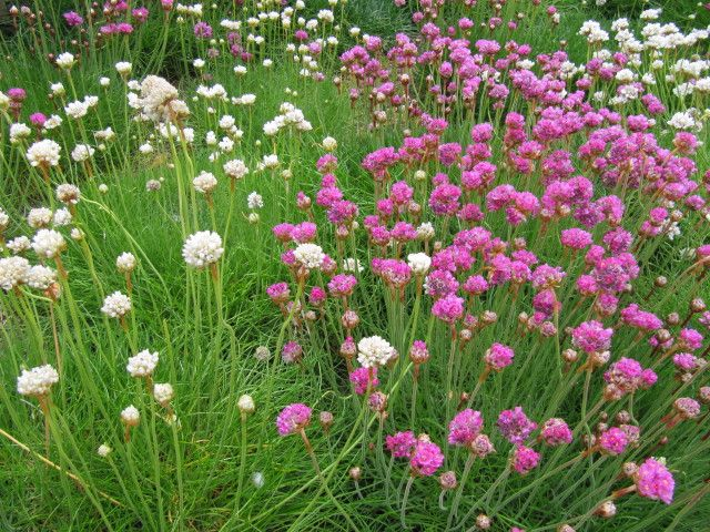 Growing Sea Pink Flowers U2013 How To Take Care Of Thrift Plants