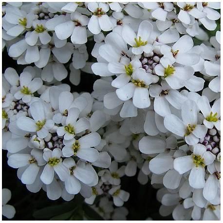 Ubiorek Wiecznie Zielony Snowflake Iberis Sempervirens Albamar Sempervirens Lantana Plants