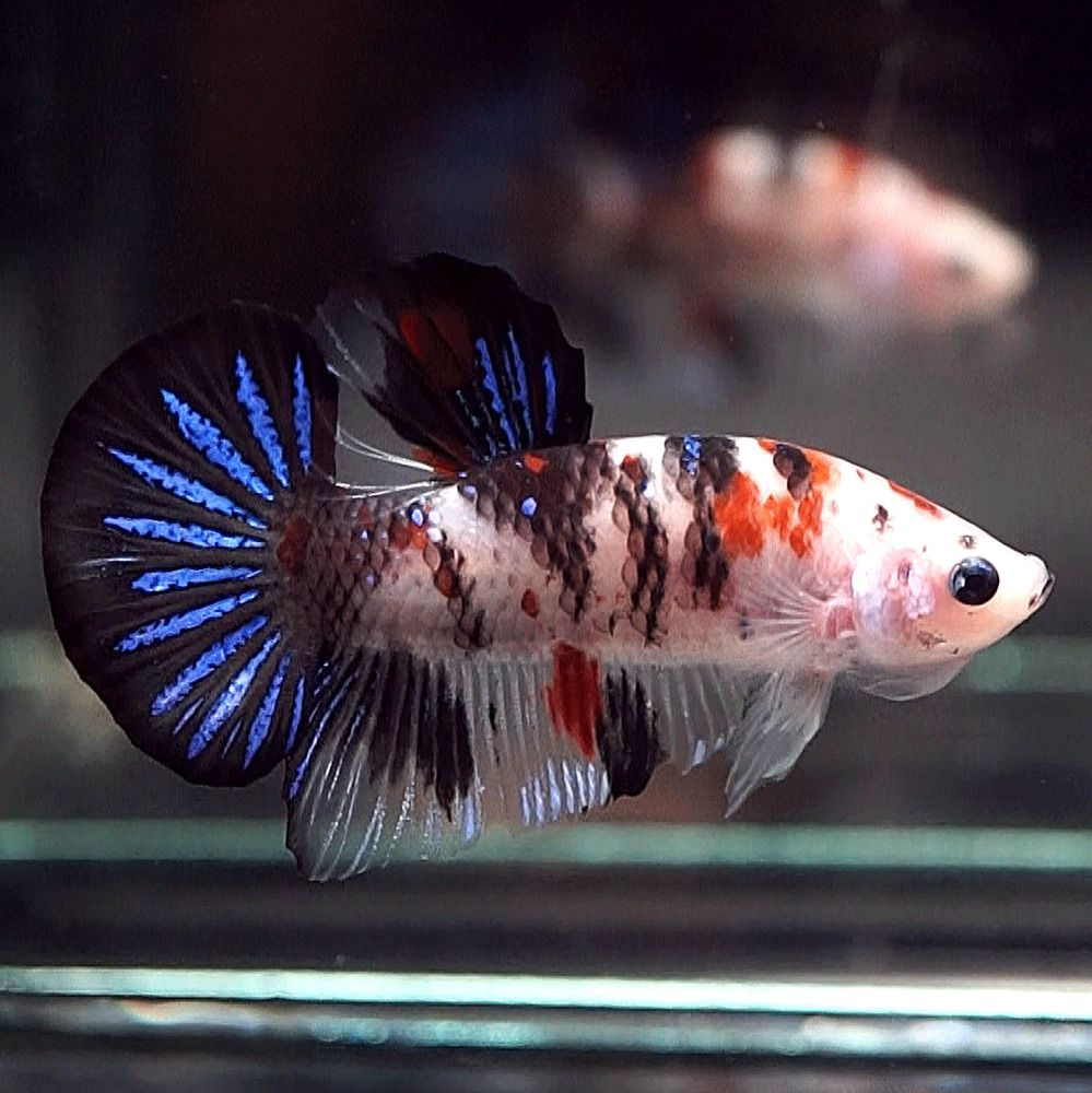 Live Betta Fish Fancy Black Koi Halfmoon Plakat Hmpk Male 90 Pet Supplies Fish Aquariums Live Fish Ebay Betta Betta Fish Live Fish For Sale