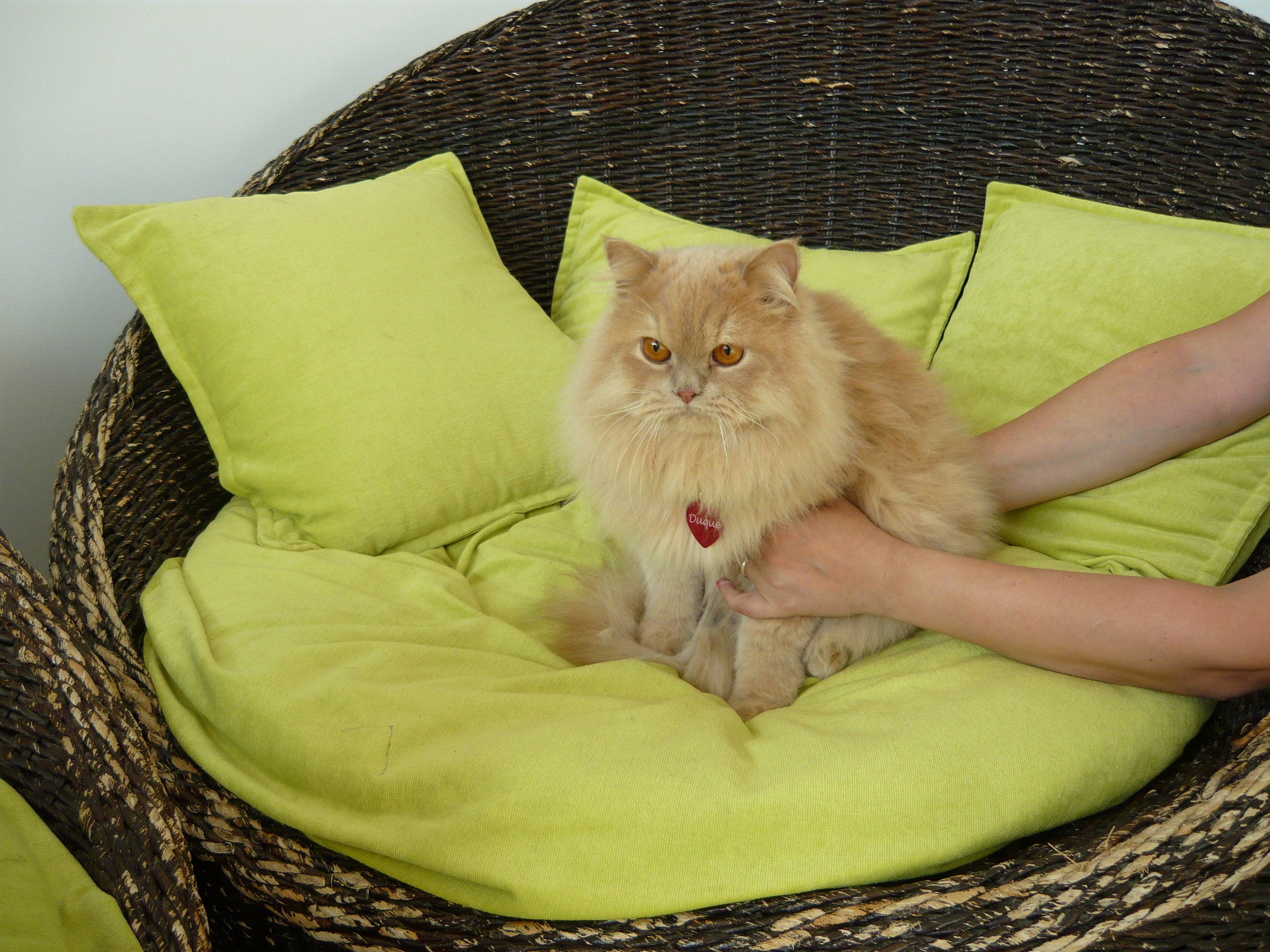 Duque. Un precioso #gato que disfrutó de sus primeras #vacaciones con nosotros. #hotel #petfriendly