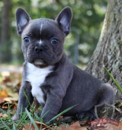 Blue The Male Frenchton Michigan Puppies For Sale Frenchton