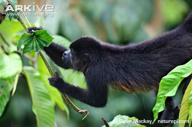 Black howler monkey photo - Alouatta caraya - G135921   ARKive