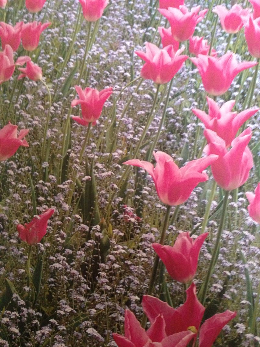 China Pink Tulips Underplanted With Forget Me Nots Flowers In May