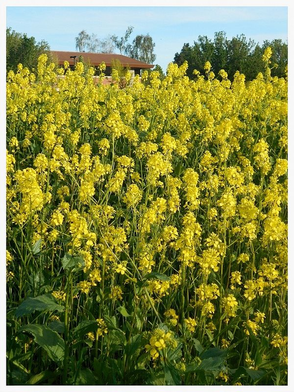 Mustard Grass Spring Wild flowers, Grass, Landscape