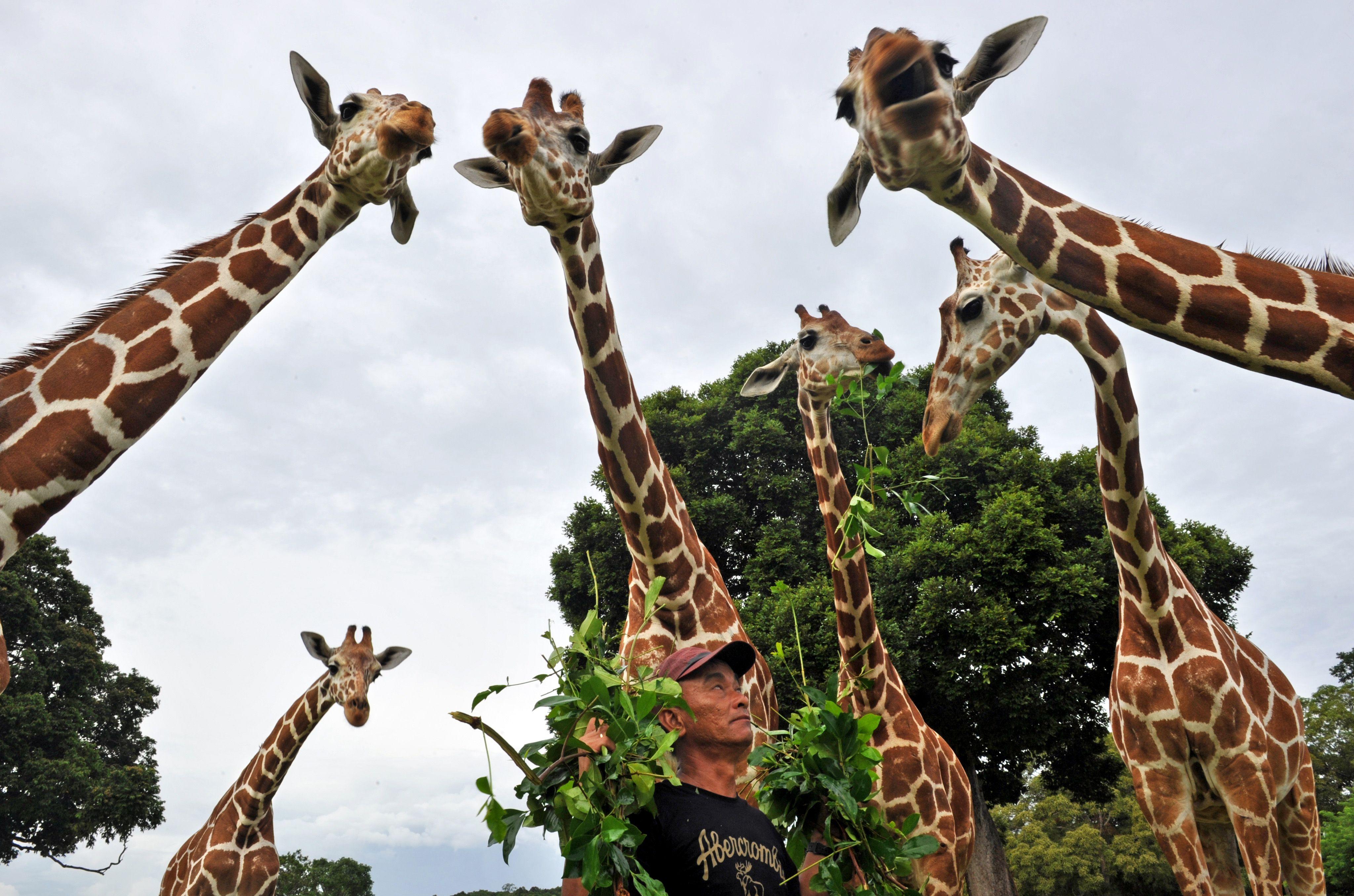 Приколы с жирафом картинки