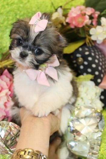 Micro Tiny Teacup Shih Tzu Teacup Shih Tzu Puppies Tiny Shih