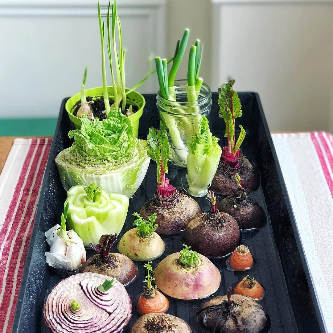 Save Your Scraps And Regrow Your Produce Repost Aimeebourque Repurposed Kitchen Scraps Or Edible Regrow Vegetables Edible Garden Vegetable Scraps
