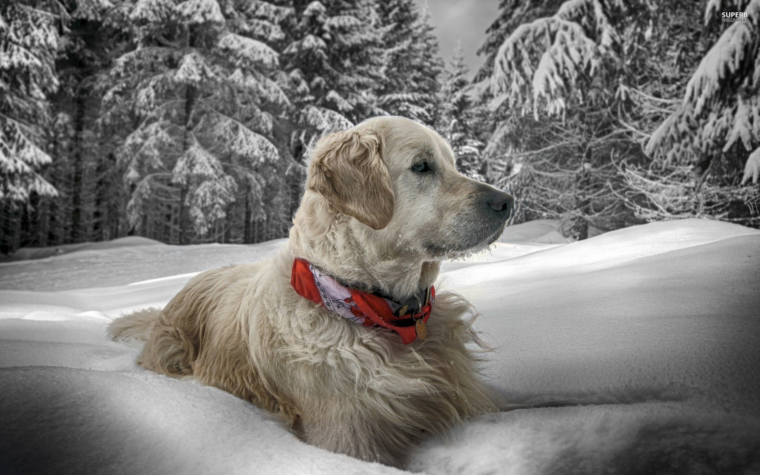 Winter Animal Wallpapers Picture Free Download Golden Retriever