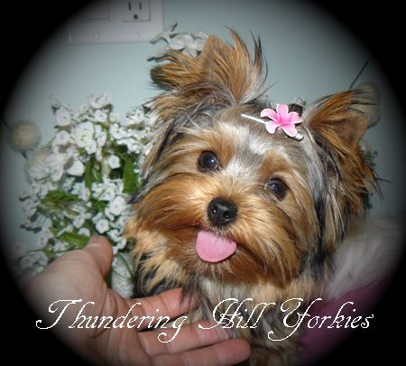 yorkie puppies for sale | B C  Canada | teacup yorkies for