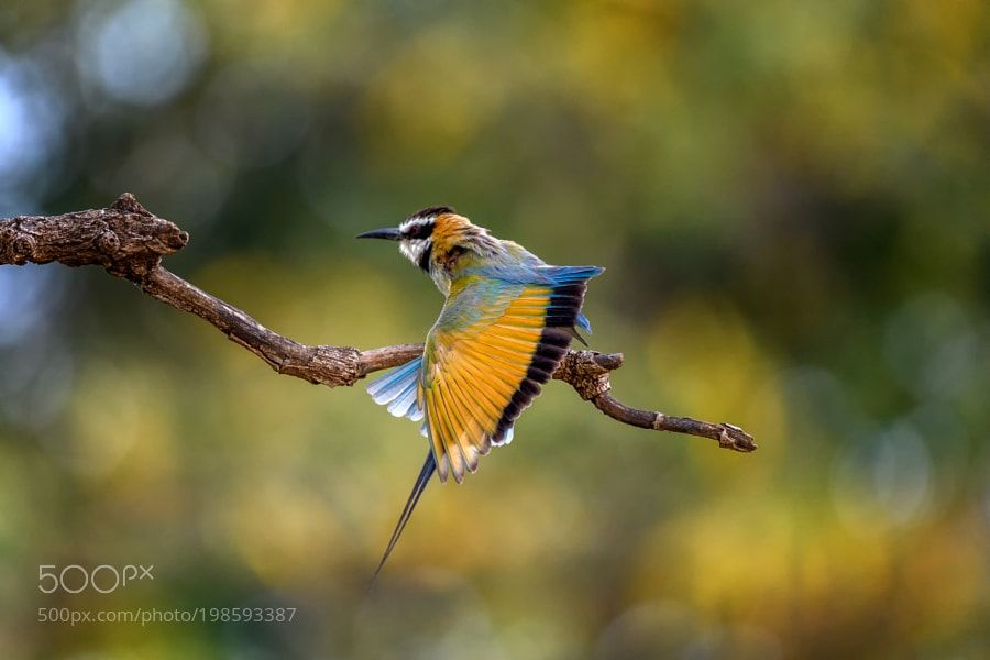 #nature White-throated bee-eater (Merops albicollis) flexing a wing Mas by dianarobinson