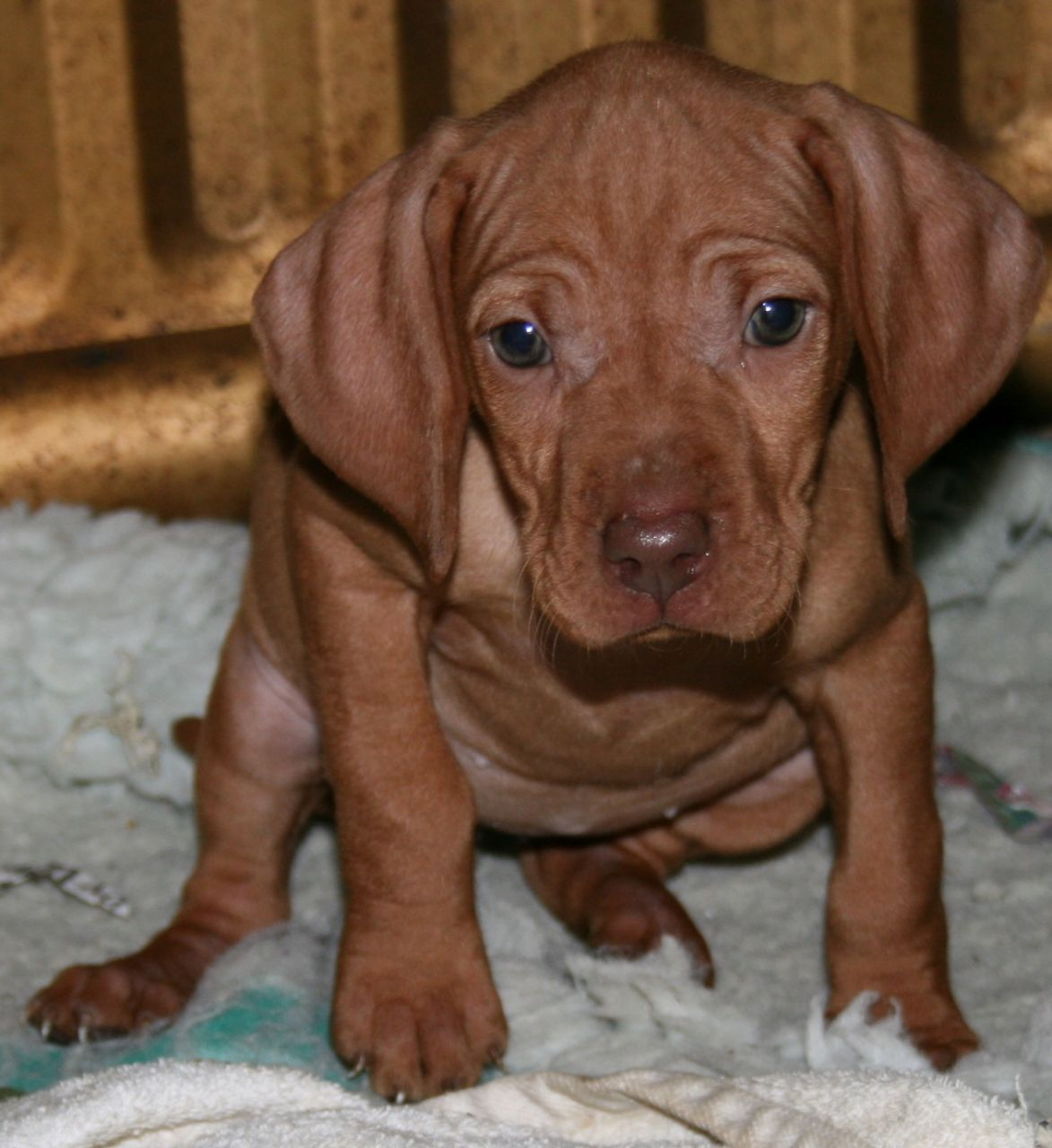 Hungarian Vizsla Puppies For Sale Vizsla puppies, Vizsla