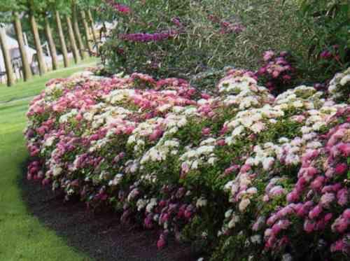 id e de jardin cr er une haie fleurie et parfum e haies id es de jardin et fleuri. Black Bedroom Furniture Sets. Home Design Ideas