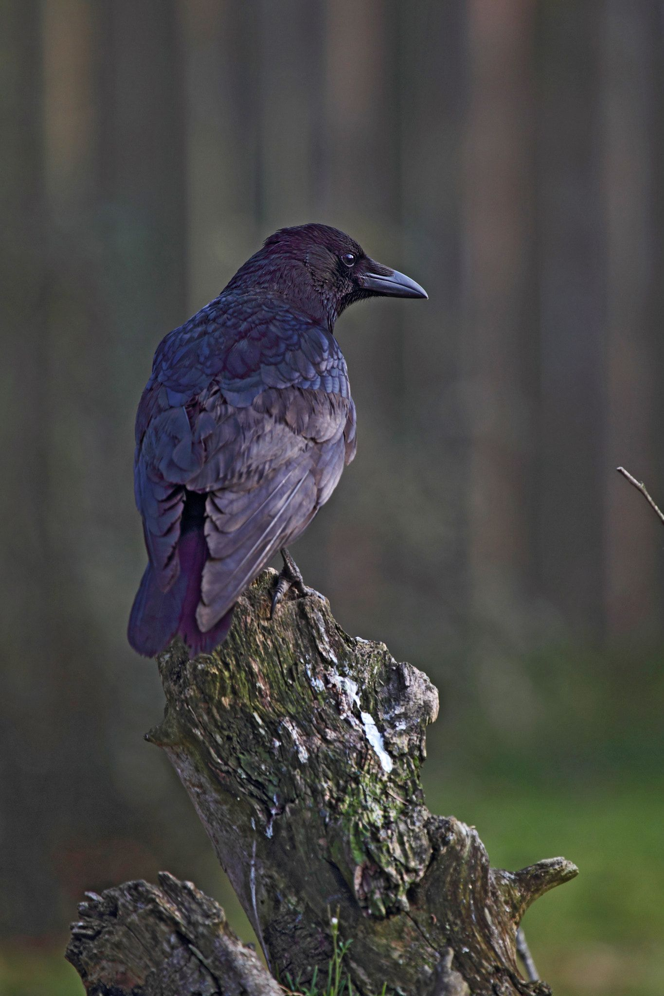 What is a raven symbolic of choice image symbol and sign ideas carrion crow corvus corone this spirit animal is a symbol of carrion crow corvus corone this buycottarizona