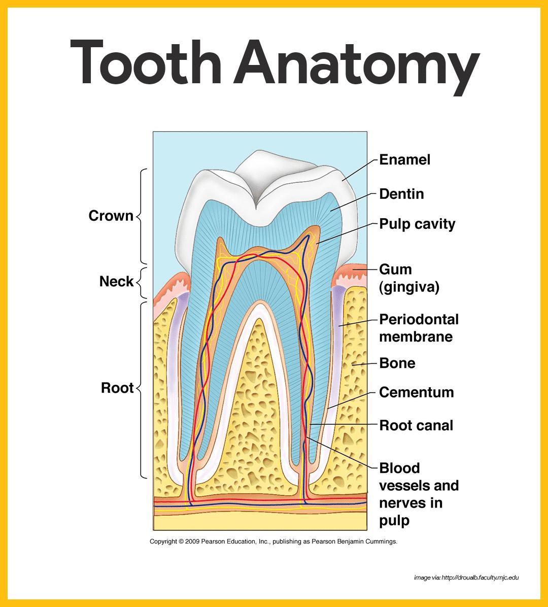 Teeth Secondary Teeth Primary And Permanent Teeth In 2020 Tooth Chart Teething Chart Molar Teething