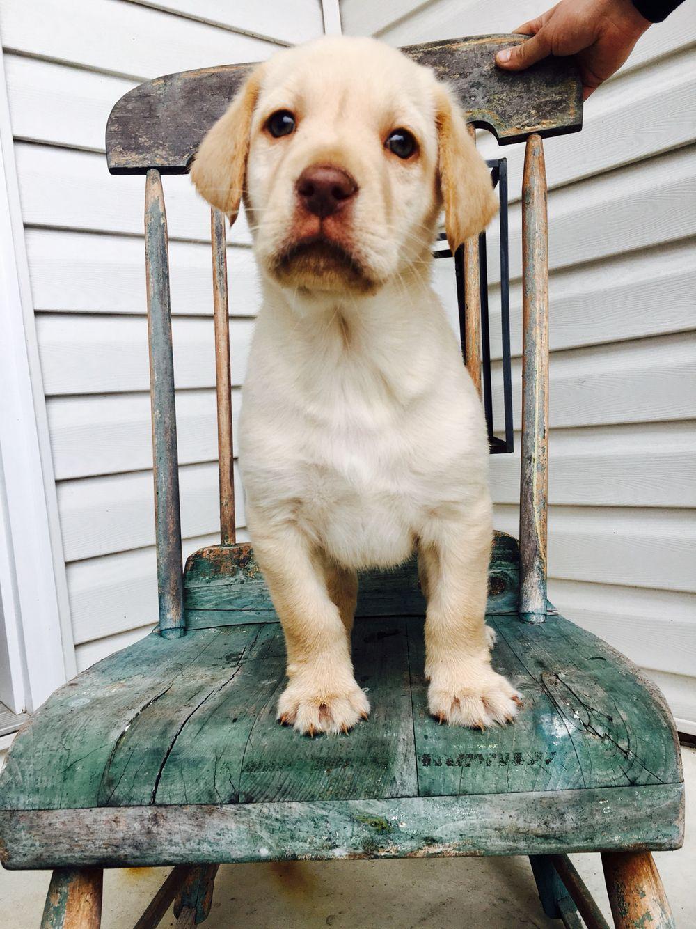 Beck Yellow Lab Puppy Yellow Lab Puppy Lab Puppy Labrador