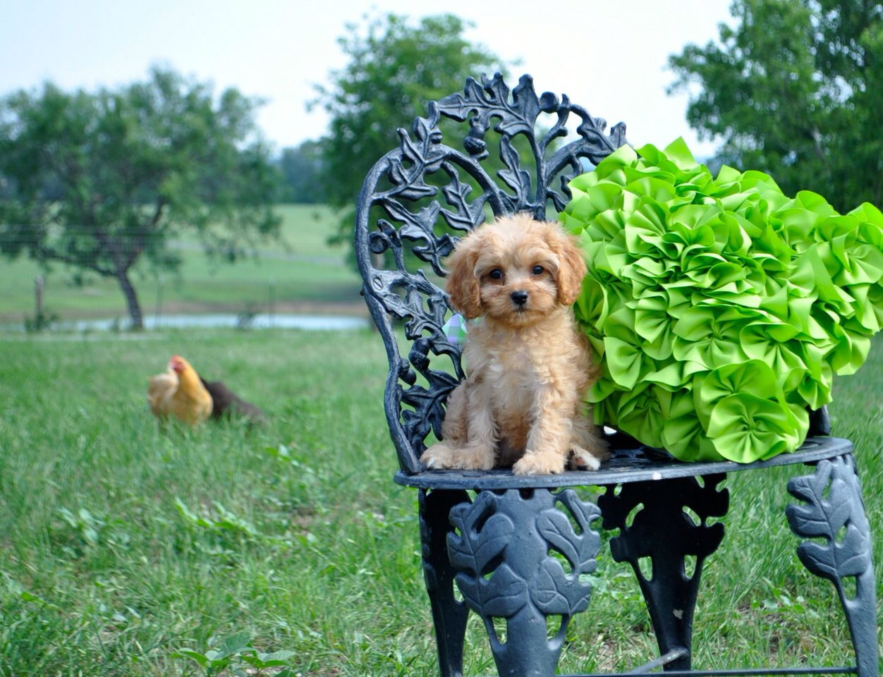 Cavapoo From Almostfamousdog Com Cavalier X Poodle Our Almost