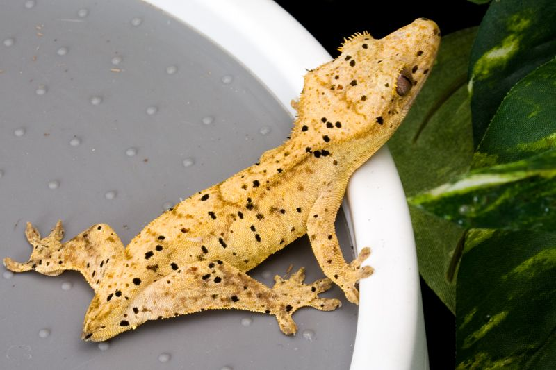 Cream Crested Gecko