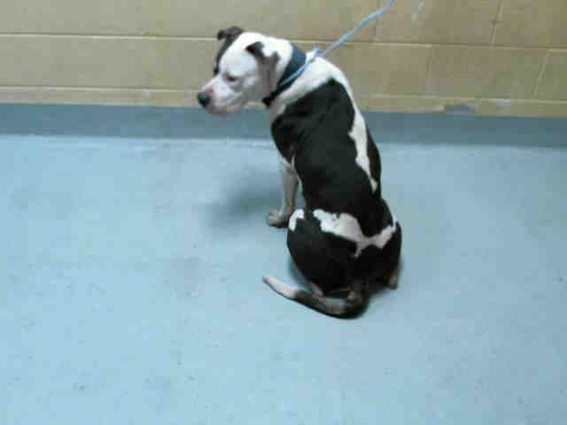 American Pit Bull Terrier Dog For Adoption In Tulsa Ok Adn