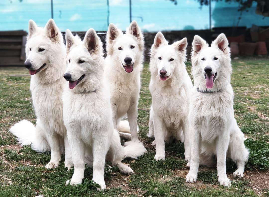 Sky Lilu Joy Zurich Prim White Swiss Shepherd Dog From Spain Thewintersouls C White Swiss Shepherd Dogs Pet Fox