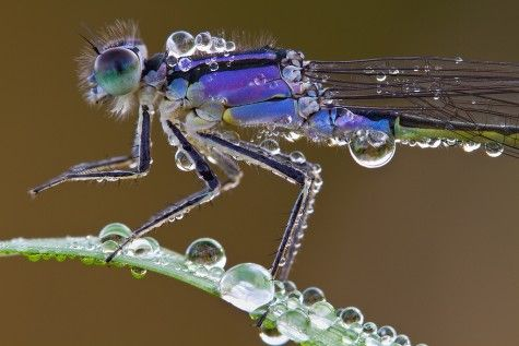 Tailed Damselfly by Joachim Wimmer