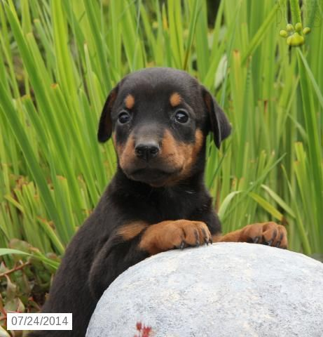 Doberman Pinscher Puppy For Sale In Pennsylvania Doberman