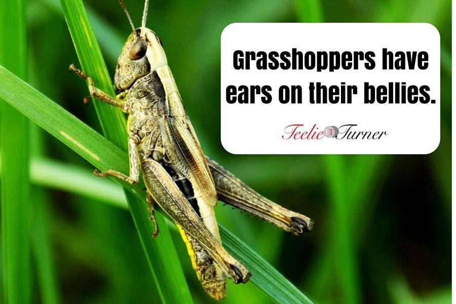 Interesting Fact www.teelieturner.com Grasshoppers ears ...