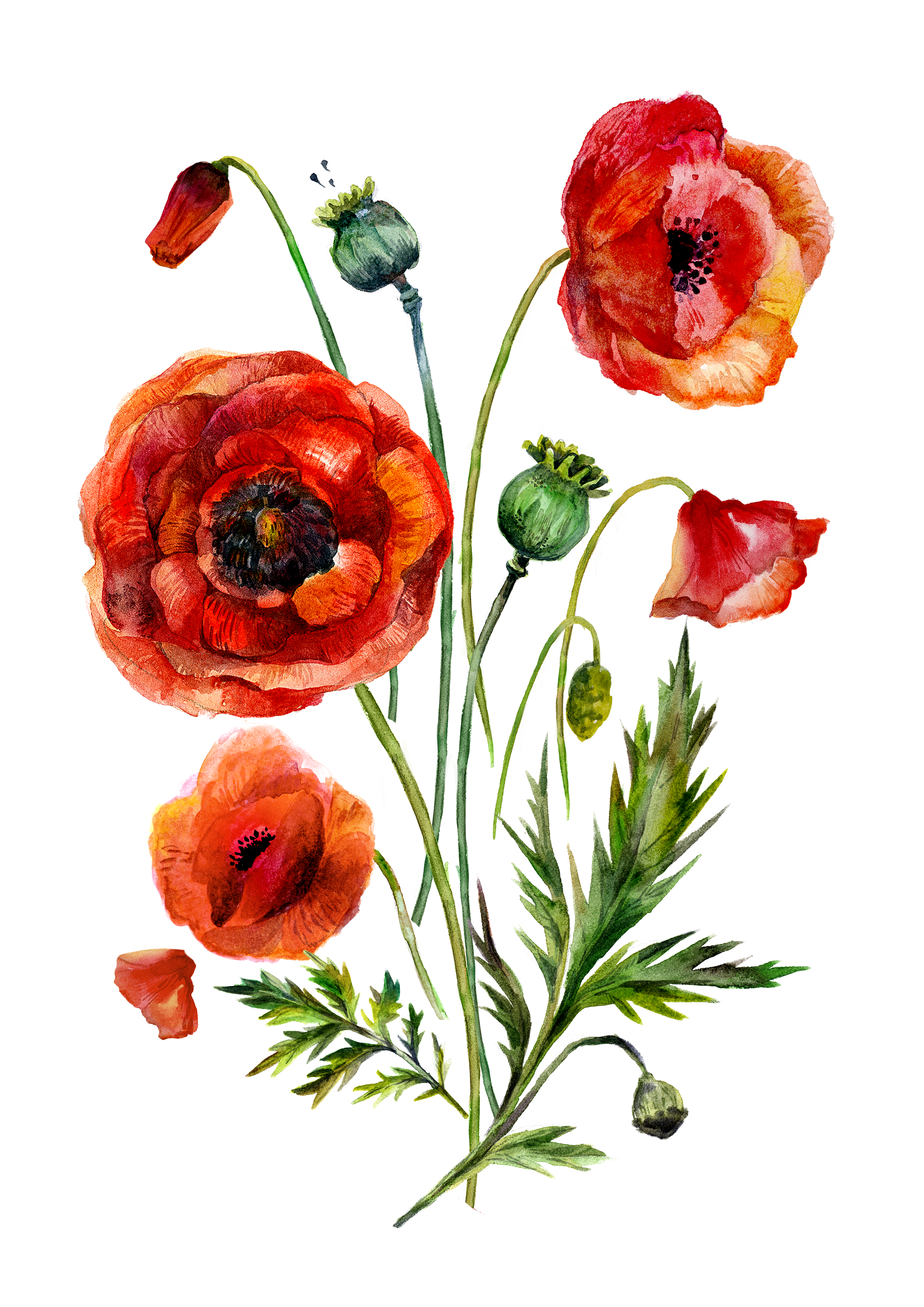 5beeeb637c776 H269A (5) | Botanical Illustrations | Watercolor poppies, Watercolor ...