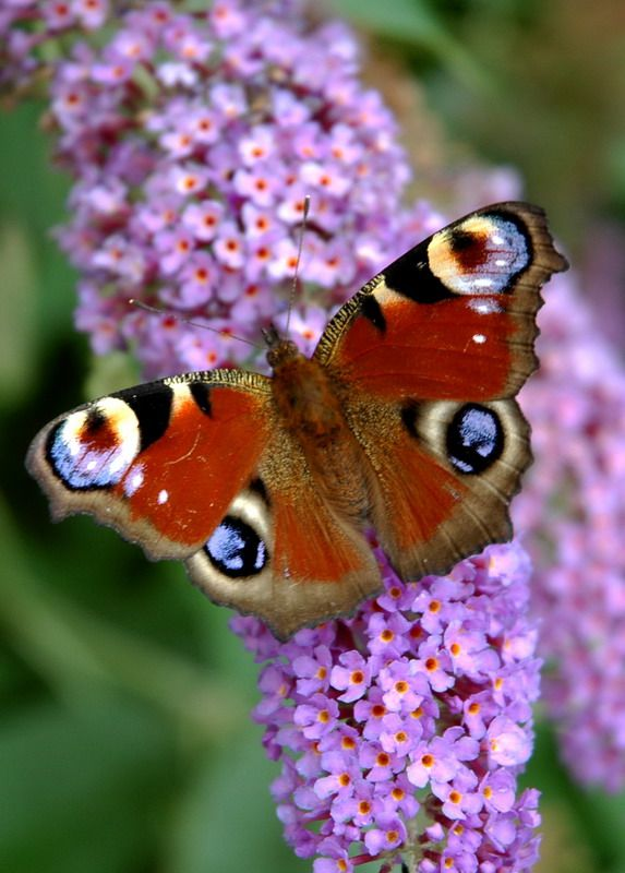 Butterfly On The Buddleia By Jdwyer264 Leeds West Yorkshire