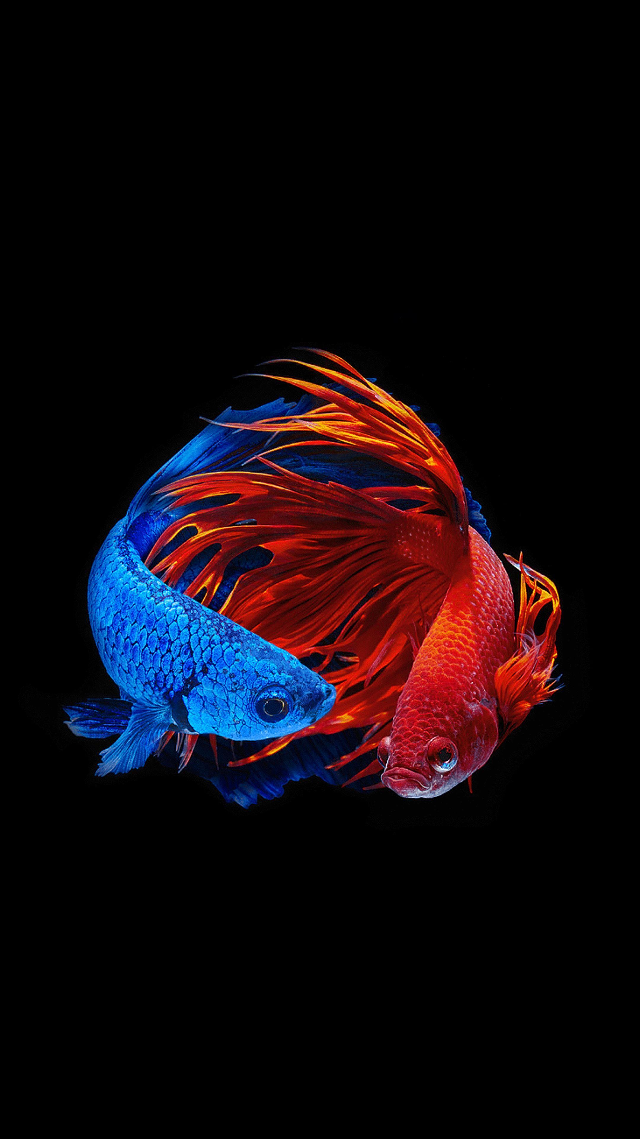 Amoled Animal Wallpaper Ikan Cupang Binatang Ikan Akuarium