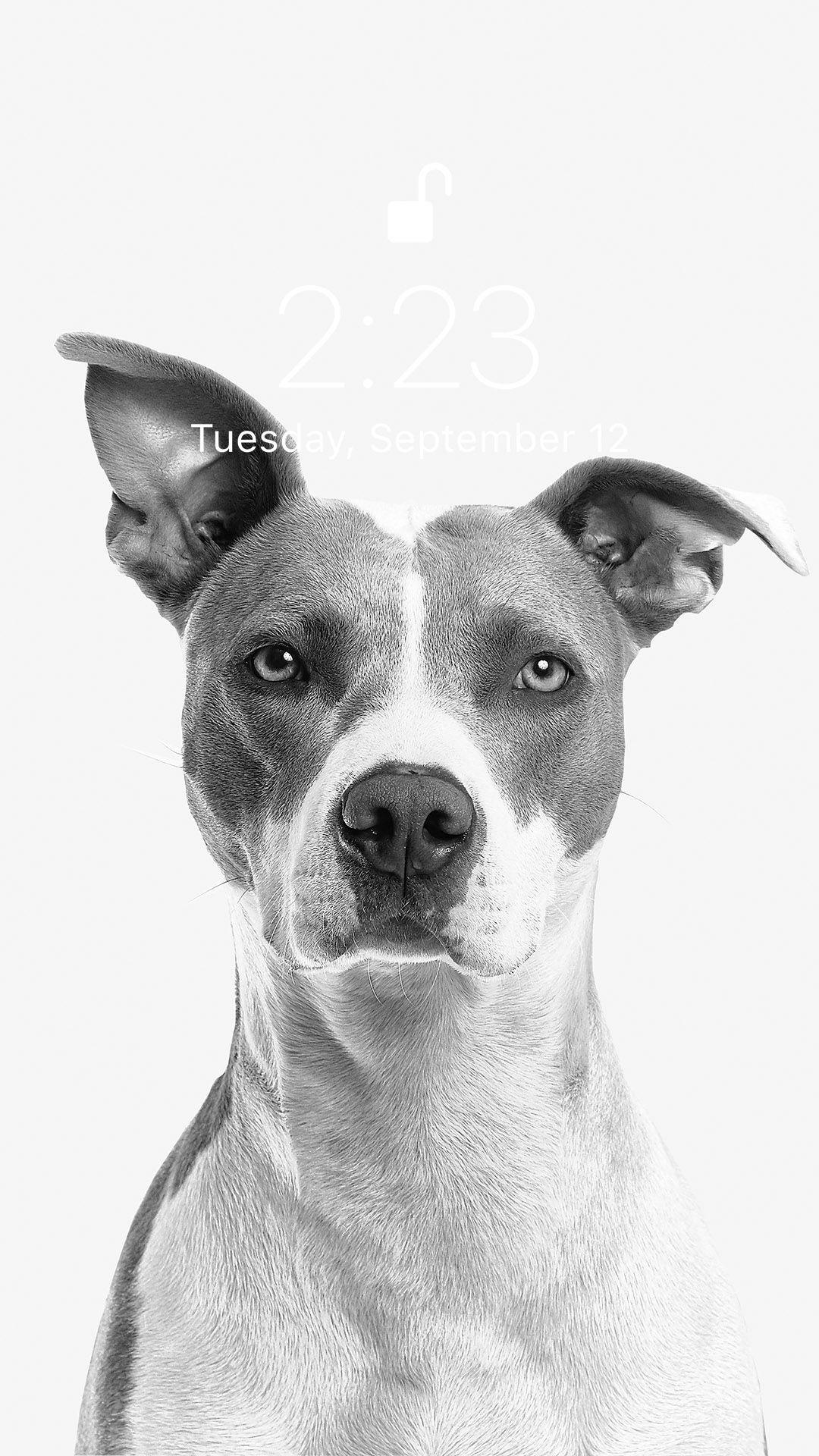 Animals Wallpaper Grey Dog Terrier Puppies Training Your Dog
