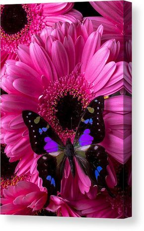 Purple Black Butterfly Canvas Print by Garry Gay. All canvas prints are professionally printed, assembled, and shipped within 3 - 4 business days and delivered ready-to-hang on your wall. Choose from multiple print sizes, border colors, and canvas materials.