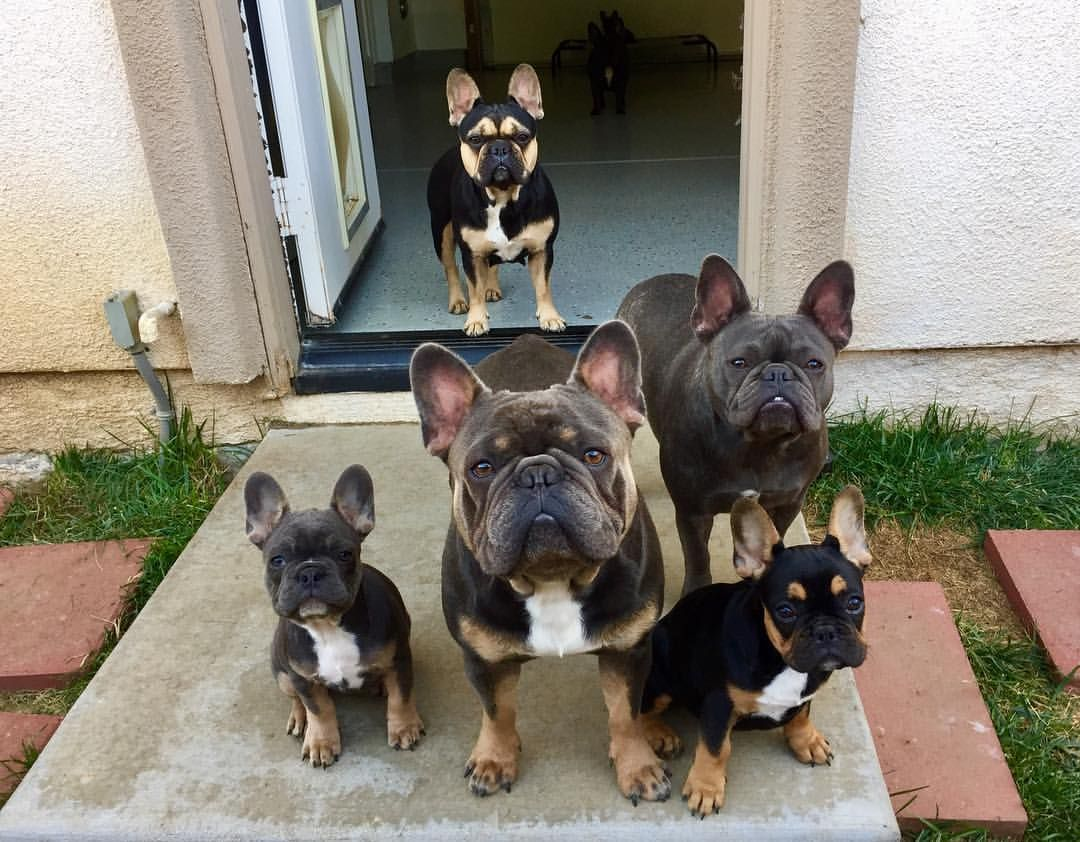 217 Likes 9 Comments Blu Frenchies Blu Frenchies On
