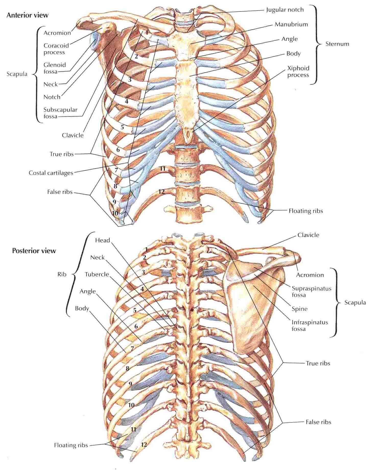 bedahunmuh.files.wordpress.com 2010 05 bony-framework-of-thorax.jpg ...