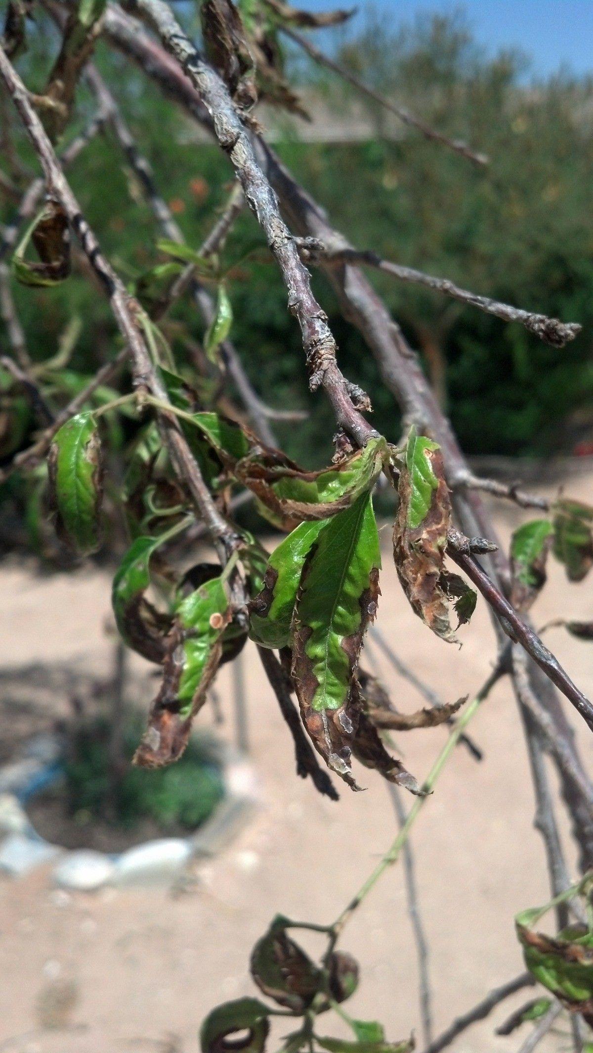 Flowering cherry tree leaves turning brown in 2020