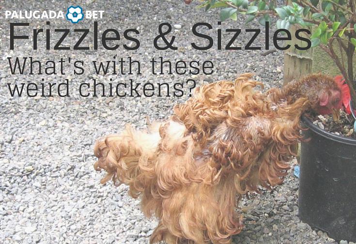 Apa itu ayam jago? Ayam mendesis? | Ayam
