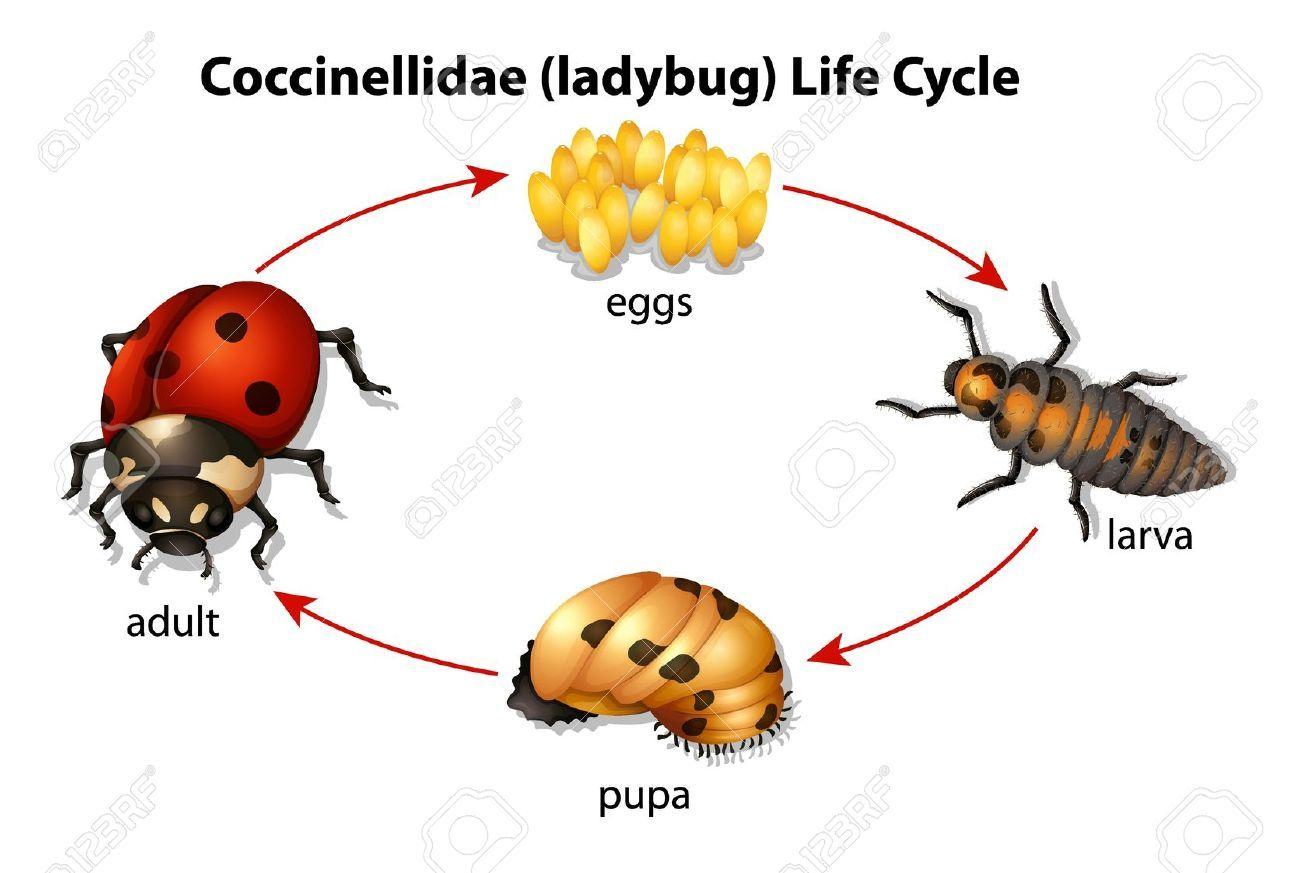 Ladybug Life Cycle Pictures