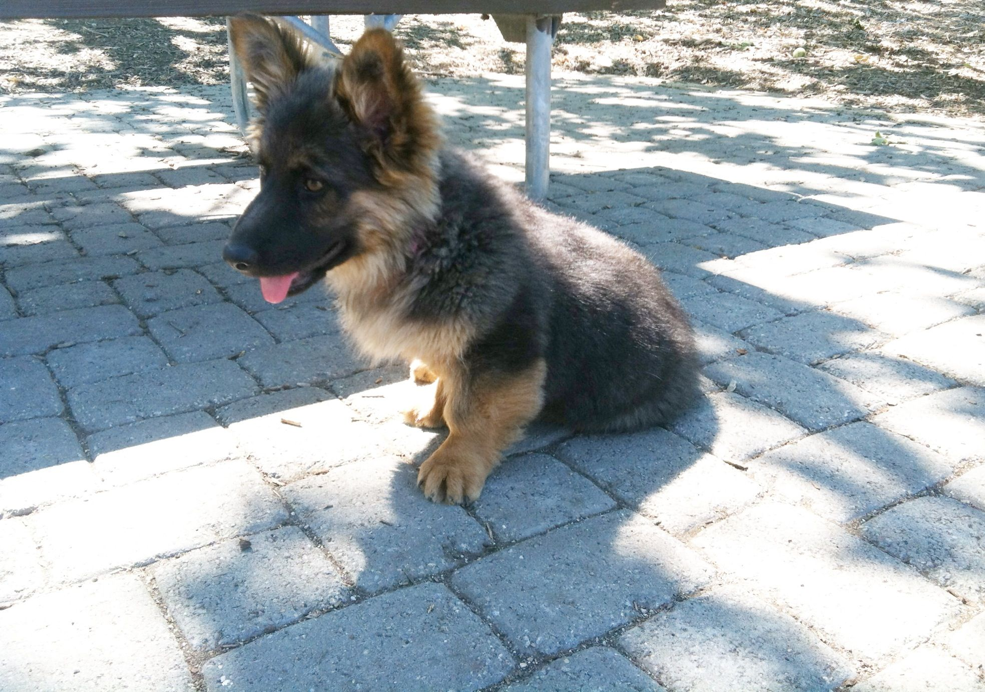My German Shepard Corgi Mix German Shepherd Corgi Mix