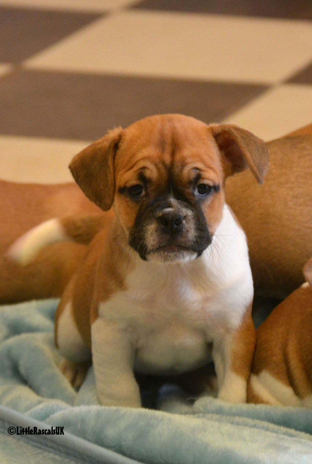 Frug Puppies For Sale Female 1 Little Rascals Pets Ltd Puppies
