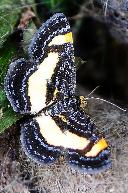 Rare Spring Moth