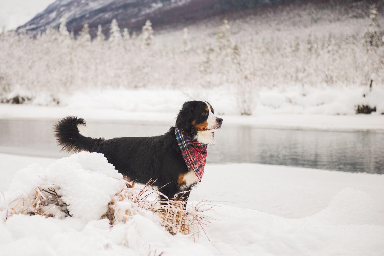 Yukon Bernese Mountain Dog Christmas Card Session