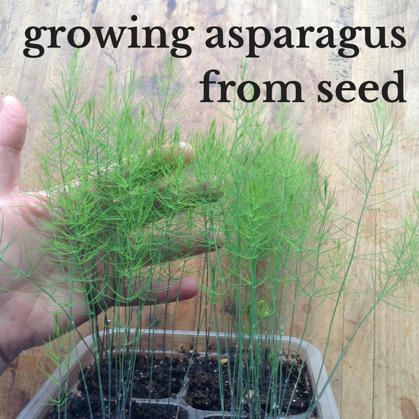 How To Grow Asparagus From Seed Growing Asparagus Growing Asparagus From Seed Asparagus Seeds